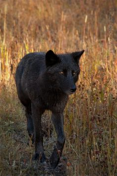 Wild Black wolf(Canis lupus) photographed in Canada by Vincent Piotrowski. Wolf Spirit, Spirit Animal, Black Animals, Cute Animals, Wild Animals, Coyotes, Wild Life, Beautiful Creatures, Animals Beautiful