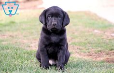 He is a Gorgeous Black Labrador Retriever ready for adventures. This fella is as social as can be sure to be the center of attention everywhere you go. Black Puppy, Black Lab Puppies, Black Labs For Sale, Puppies For Sale, Cute Puppies, Black Labrador Retriever, Labrador Retrievers, Rottweiler Puppies, Corgi Puppies