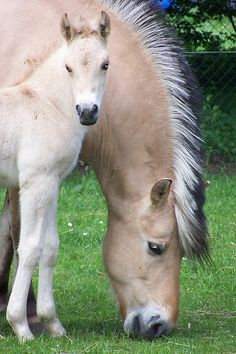 How pretty are fjord horses??