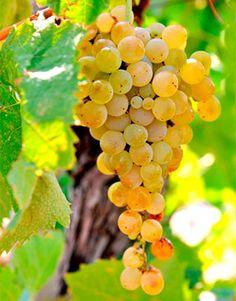 O nome é esquisito, mas a cepa é interessante. Conheça Catarratto. Essa é a variedade mais plantada em toda a Sicília, cobrindo cerca de 60% das vinhas da ilha. E costuma ser citada como a segunda uva mais plantada em toda a Itália, ficando atrás apenas da tinta Sangiovese.