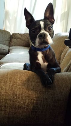 Meet Teddy Bear a Petfinder adoptable Boston Terrier Dog | Lakewood, OH | Meet Teddy BearTeddy is a 1 1/2 year old Boston Terrier (possibly mix) who is just a sweetie. ...