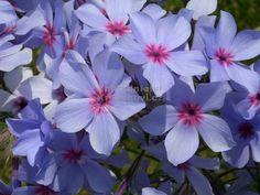 """Phlox × divaricata """" Chattahoochee """" - flox, plamenka Zahradnictví Krulichovi - zahradnictví, květinářství, trvalky, skalničky, bylinky a koření"""