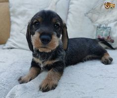 We have 4 top quality standard wirehaired dachshund puppies for sale. We have 1 boy and 2 girls left to reserve. They are lovely strong chunky puppies Standard Dachshund, Dachshund Breed, Wire Haired Dachshund, Pet Breeds, Puppy Breeds, Small Dog Breeds, Dachshund Puppies For Sale, Dogs And Puppies