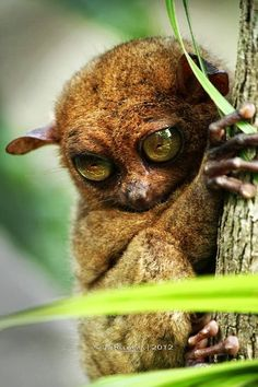 Think You Know Cute? You've Never Met a Tarsier Primate! Rare Animals, Cute Baby Animals, Animals And Pets, Funny Animals, Exotic Animals, Cute Animal Photos, Animal Pictures, Lovely Creatures, Fauna