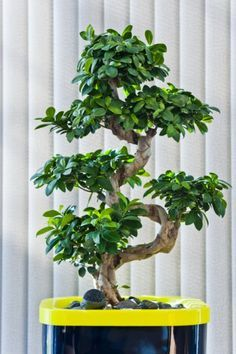 How Herb Back Garden Kits Can Get Your New Passion Started Off Instantly Ficus Ginseng 'S-Shape' In Corporate Colored Pot Ficus Ginseng Bonsai, Ginseng Plant, Bonsai Soil, Bonsai Garden, Garden Trees, Bonsai Plants, Indoor Bonsai Tree, Ficus Tree, Bonsai Trees