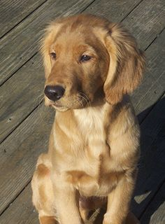Field golden retriever puppy