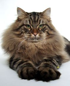 Siberian Cat. Long hair and giant paws. So pretty