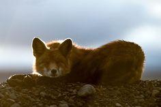 Engenheiro russo passa suas horas de folga tirando fotos de raposas no Círculo Ártico 26