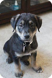 Chiclet - Shepherd/Labrador Retriever mix - Male - 9 weeks old - Kyle, SD - Oglala Pet Project - http://www.oglalapetproject.org/Adopt-from-OPP.html - https://www.facebook.com/OglalaPetProject - http://www.adoptapet.com/pet/10451075-kyle-south-dakota-shepherd-unknown-type-mix
