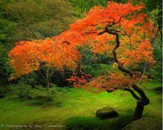 Japanese Maple by Gary J. Weathers