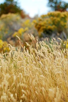 My beloved field of wheat/wild grass. It would be a dream come true!