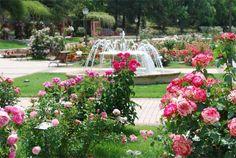 Nuestras rosas. Rosaleda del Parque del Oeste - The Rosaleda (Del Oeste Park) - Family Days out (Madrid.Spain) - Ocio en familia en Madrid - http://www.ocioenfamilia.com/pron13.htm
