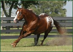 THE HUNTER   1993 ApHC Stallion  HALL OF FAME STALLION World and National Champion  Char-O-Lot Ranch