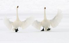 """These two Whooper Swans welcomed me although temperatures where far below zero warmly :-) with open wings and a lot of noise when I arrived at Kussharo Lake on the Northeastern part of Hokkaido Japan"" writes photographer Harry Eggens."