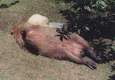 Courtesy of Alison Taub, the Capybara Page's Hollywood correspondent