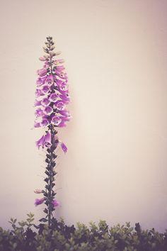 Foxglove - Summer Floral Photograph Print
