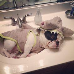 Beware of shark. #frenchie