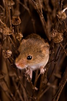 Mouse 4 by Photography / Animals, Plants Nature / Wild The number 4 in the mouse series, the last and my personal favorite (although many people have argued against this) Well hope you like it =D (Taken at the British Wildlife Centre, Surrey, England) Vida Animal, Mundo Animal, Baby Animals, Wild Animals, Cute Animals, Autumn Animals, Hamsters, Rodents, Regard Animal
