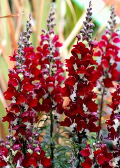 "Antirrhinum majus  ""Night & Day"" Heirloom Snapdragon"