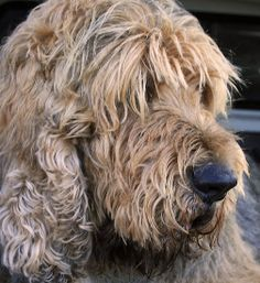 otterhound - I just love that face!