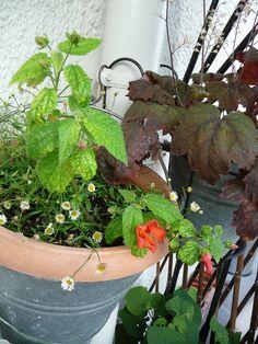 Floraison timide de mon Pavonia miskii http://www.pariscotejardin.fr/2013/07/floraison-timide-de-mon-pavonia-miskii/
