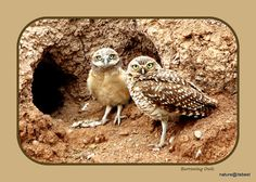 Burrowing Owls nature print by MoInKiBeadDesigns on Etsy, $20.00