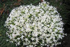 Phlox covillei Cactus, Succulents, Garden, Plants, Lawn And Garden, Gardens, Succulent Plants, Plant, Outdoor