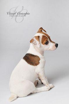 SCOUT baby 8 week old, Jack Russell Terrier #JackRussell