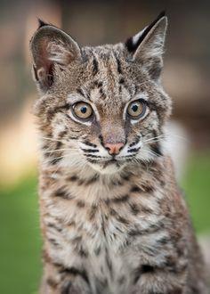 Gideon - Cutest Baby Bobcat Ever by Karin Saucedo*