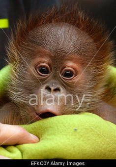 Berlin, Germany. 6th February, 2015. #Cute Newborn #orangutan 'Rieke' at a press conference at #BerlinZoo Credit: dpa/ Alamy #animal #monkey