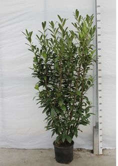 Laurierkers Caucasica. Ook potgekweekt tot 175-200 cm Mooie donkergroene bladhoudende haagplant.