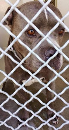SUPER URGENT Many dogs specialy pit bulls were pts this week he is in danger the shelter is so FULL, he doesn't have much time.!He has the most beautiful energy, he is adorable and he needs help now. Please keep SHARING,a FOSTER or Adopter would save his life. Thanks! #A4847109 I'm an approx 2 year old male pit bull. at the Carson Animal Care Center since June 23, 2015.Gardenia CA