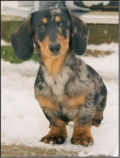 Dachshund Colors and Patterns  Black and Tan Dapple smooth hair