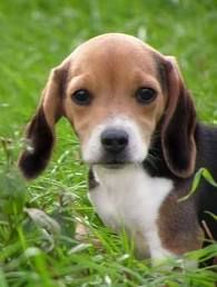 I know, it's a beagle, but it is so cute and the coloring is so beautiful!