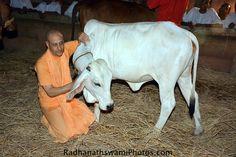 Radhanath Swami visits Goshala at GEV, India Hare Krishna, Animal Welfare, Hinduism, Deities, Consciousness, Worship, India, In This Moment, Tips