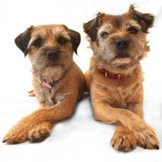 https://www.luvmydogs.com/2017/07/everything-about-your-border-terrier.html
