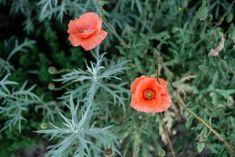 Mohn Gardening, Plants, Blog, Potting Soil, Fruit Garden, Harvest, Lawn And Garden, Flora, Plant