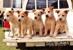 Red cattle dog puppies