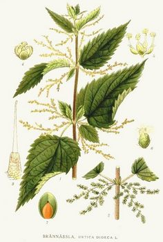Even the ancient Greeks had used nettle in order to solve allergy and eczema on the skin. Thanks to silicon, nettle effectively leaflets eczema, acne, and fungal infections of the skin. Botanical Drawings, Botanical Illustration, Botanical Prints, Illustration Botanique, Home Garden Plants, Gras, Medicinal Plants, Cactus Plants, Perennials