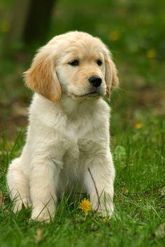 So cute!!! Golden Retriever puppies are so adorable!