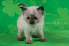 2016: Baby Puss A Zwollywood Cat. 6 Weeks old Ragdoll kitten, seal colourpoint. Flintstones litter.