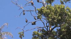content > english > texts > quality literature - stellaluna by janell cannon; australian fruit bats video