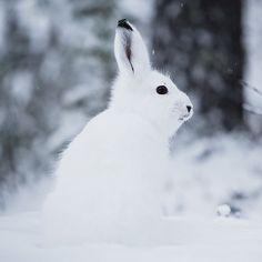Je ressors cette photo que j'aime beaucoup d'un lapin arctique que j'ai pris en photo l'an passé à cette période juste devant mon chalet. J'essaye de le voir chaque jour depuis mon arrivée mais je ne vois que ses traces de pattes dans la neige. Il a du passer ce matin d'ailleurs car il y a des traces toute fraîche; Surement que mon Mallow l'a vu car il était dans son hamac près de la fenêtre toute la matinée ! Je ne perds pas patience je finirai par le voir; Il est pas trop beau ? [EN] Old…