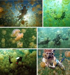 Swim with the jellyfish at Jellyfish Lake, Palau. The jellyfish have lost their ability to sting over time, so swimming with them is completely harmless.