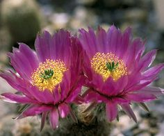Hedgehog Cactus.  Full sun and well-drained soil.