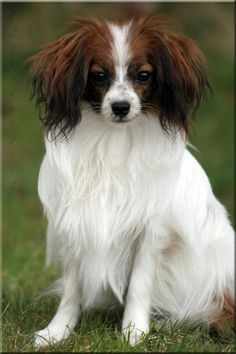 Phalène / Phalene. The Phalène is the drop-eared version of the Papillon, a toy breed also known as the Butterfly Dog or the Continental Toy Spaniel.
