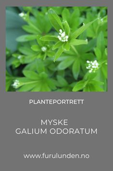 Bruk den i eplemos, lag te av den m.m. #galiumodoratum #bunndekker #planteportrett #hagetips #min hage #minträdgård Herbs, Portrait, Plants, Headshot Photography, Herb, Portrait Paintings, Plant, Drawings, Portraits