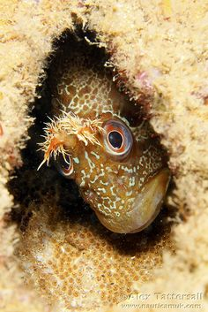 Blenny with its eggs
