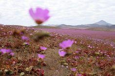 Chile - extreme dry Atacama dessert after rare rainfall