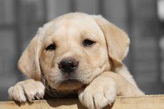 Yellow! (labrador pup)